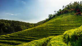 Azienda agricola del tè verde di Boseong Immagini Stock Libere da Diritti