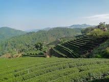 Azienda agricola del tè verde in Tailandia Immagine Stock