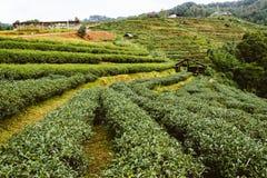 Azienda agricola del tè verde in Tailandia Fotografie Stock Libere da Diritti