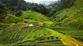 Azienda agricola del tè verde in Tailandia Fotografie Stock