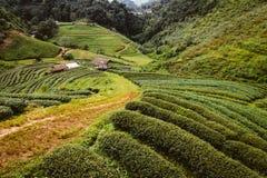 Azienda agricola del tè verde in Tailandia Fotografia Stock Libera da Diritti
