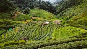 Azienda agricola del tè verde in Tailandia Fotografia Stock