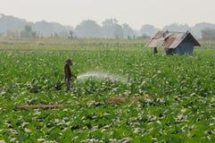 Azienda agricola del tabacco Fotografie Stock