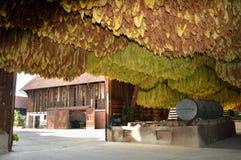 Azienda agricola del tabacco Immagine Stock Libera da Diritti