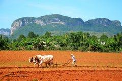 Azienda agricola del tabacco in Vinales, Cuba Immagini Stock