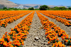 Azienda agricola del tagete in California Fotografie Stock