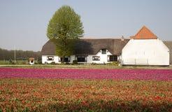 Azienda agricola del tulipano Immagine Stock Libera da Diritti