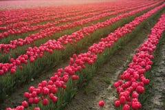 Azienda agricola del tulipano Fotografie Stock Libere da Diritti
