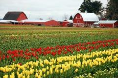 Azienda agricola del tulipano Immagini Stock Libere da Diritti