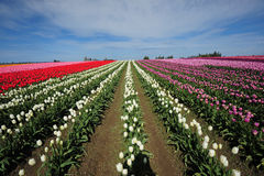 Azienda agricola del tulipano di colore Immagini Stock