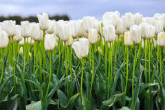 Azienda agricola del tulipano in Edendale, Nuova Zelanda Fotografia Stock Libera da Diritti