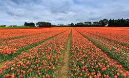 Azienda agricola del tulipano in Edendale, Nuova Zelanda Fotografie Stock Libere da Diritti