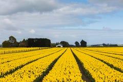 Azienda agricola del tulipano in Edendale, Nuova Zelanda Immagini Stock Libere da Diritti