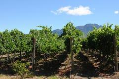 Azienda agricola del vino Immagini Stock