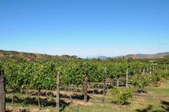 Azienda agricola del vino Immagine Stock