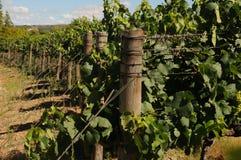 Azienda agricola del vino Fotografie Stock Libere da Diritti
