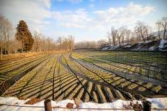 Azienda agricola del Wasabi nel Giappone Immagine Stock