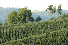 Azienda agricola dell'albero di Natale Fotografia Stock Libera da Diritti