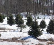 Azienda agricola dell'albero di Natale Immagine Stock Libera da Diritti
