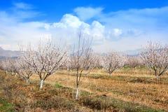 Azienda agricola dell'albicocca durante la stagione sping contro la catena montuosa di Vayk, provincia Armenia di Vayots Dzor Immagine Stock
