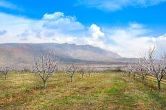 Azienda agricola dell'albicocca durante la stagione sping contro la catena montuosa di Vayk, provincia Armenia di Vayots Dzor Fotografie Stock Libere da Diritti
