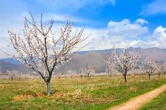 Azienda agricola dell'albicocca durante la stagione sping contro la catena montuosa di Vayk, provincia di Vayots Dzor, Armenia Fotografia Stock Libera da Diritti