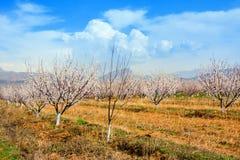 Azienda agricola dell'albicocca durante la stagione sping contro la catena montuosa di Vayk, provincia di Vayots Dzor, Armenia Immagine Stock Libera da Diritti