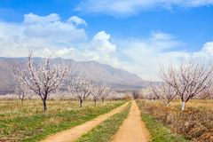 Azienda agricola dell'albicocca durante la stagione sping contro la catena montuosa di Vayk, provincia di Vayots Dzor, Armenia Fotografia Stock