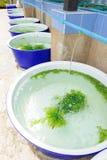 Azienda agricola dell'alga Immagini Stock Libere da Diritti