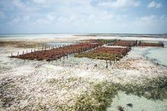 Azienda agricola dell'alga, Jambiani, isola di Zanzibar Fotografie Stock