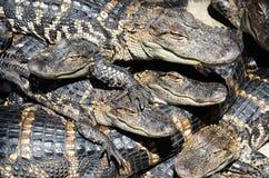 Azienda agricola dell'alligatore americano Fotografia Stock