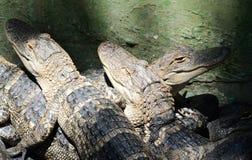 Azienda agricola dell'alligatore americano Fotografie Stock