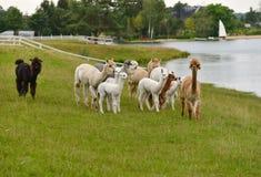 Azienda agricola dell'alpaca Fotografie Stock