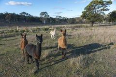 Azienda agricola dell'alpaca in Australia Fotografia Stock