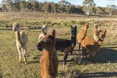 Azienda agricola dell'alpaca in Australia Fotografia Stock Libera da Diritti