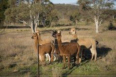 Azienda agricola dell'alpaca in Australia Immagine Stock