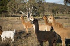 Azienda agricola dell'alpaca in Australia Immagini Stock Libere da Diritti