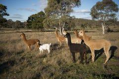 Azienda agricola dell'alpaca in Australia Fotografie Stock Libere da Diritti
