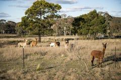 Azienda agricola dell'alpaca in Australia Immagine Stock Libera da Diritti