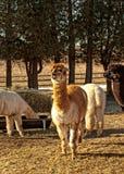 Azienda agricola dell'alpaga Fotografia Stock Libera da Diritti