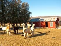 Azienda agricola dell'alpaga Immagine Stock