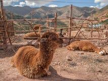 Azienda agricola dell'alpaga Immagine Stock Libera da Diritti
