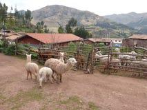 Azienda agricola dell'alpaga nell'ambiente rurale Fotografia Stock