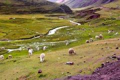 Azienda agricola dell'alpaga sul modo alla montagna dell'arcobaleno Immagine Stock Libera da Diritti