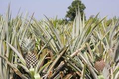 Azienda agricola dell'ananas Fotografie Stock