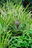 Azienda agricola dell'ananas Fotografie Stock Libere da Diritti