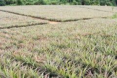 Azienda agricola dell'ananas Fotografia Stock