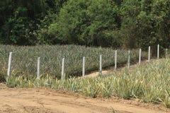 Azienda agricola dell'ananas Immagini Stock Libere da Diritti