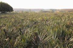 Azienda agricola dell'ananas Fotografia Stock Libera da Diritti