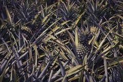 Azienda agricola dell'ananas nello stile d'annata di colore Immagine Stock